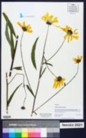 Helianthus agrestis image
