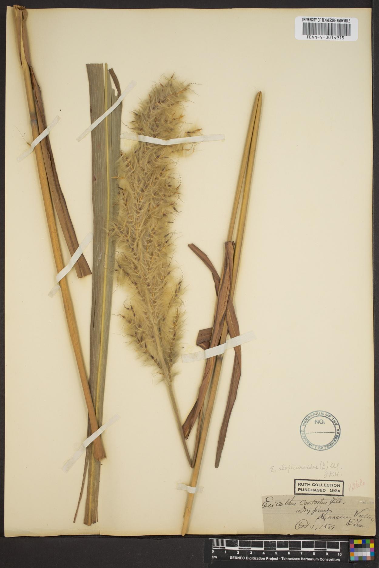 Erianthus alopecuroides image