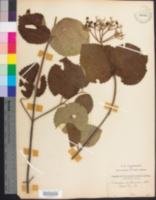 Image of Viburnum carolinianum