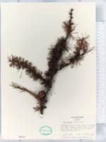 Image of Larix gmelinii