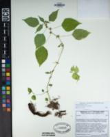 Image of Acalypha brachystachya