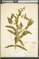 Euphorbia lathyris image