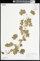 Ribes cognatum image