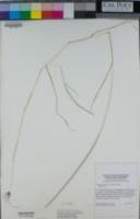 Hainardia cylindrica image