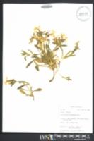 Silene caroliniana image