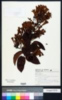 Image of Lundia cordata