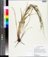Carex planispicata image