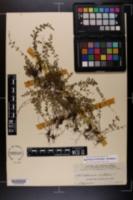 Image of Asplenium trichomanes-dentatum