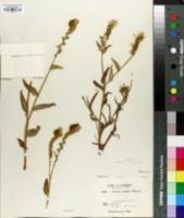 Image of Amsinckia grandiflora
