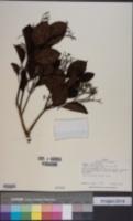 Image of Cordia eriostigma