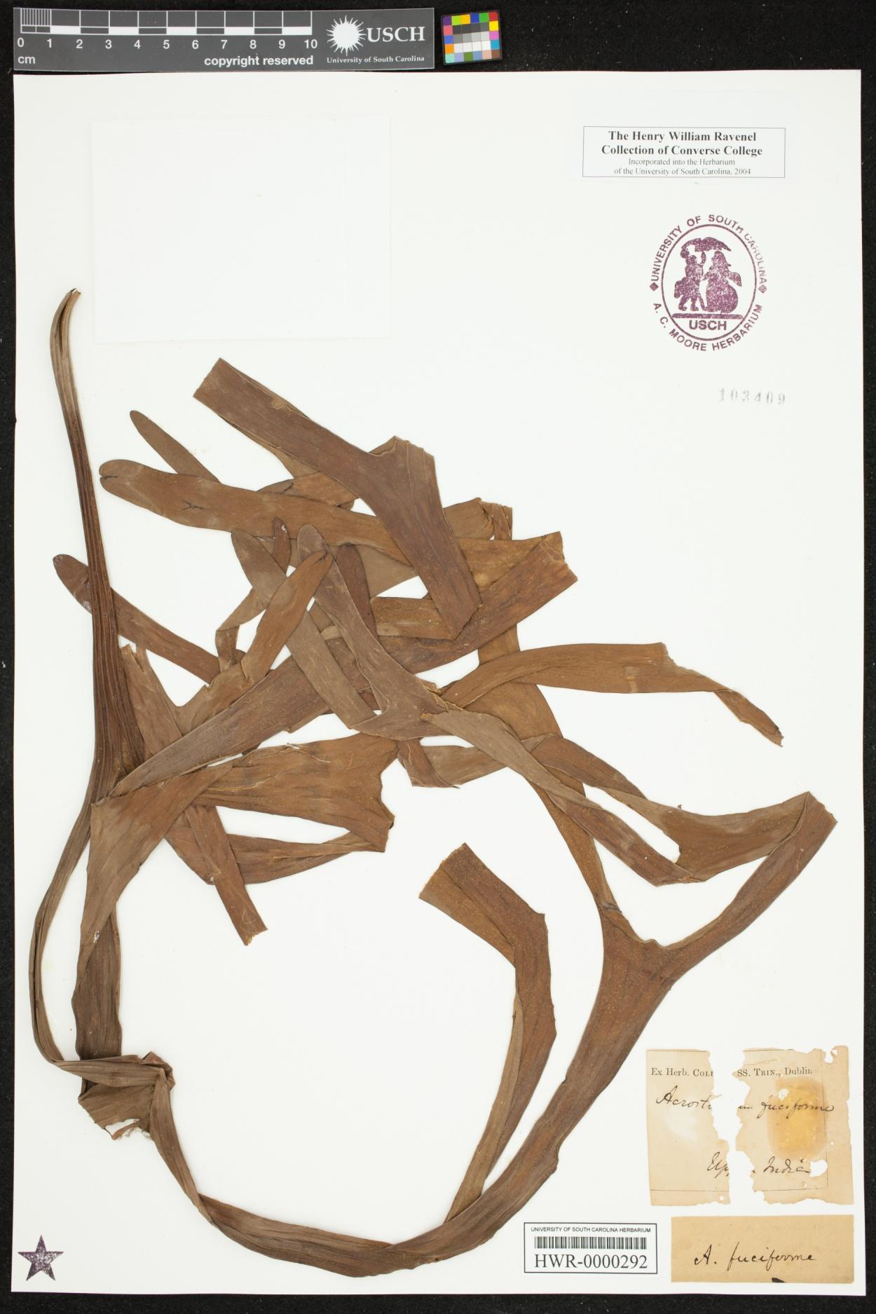 Platycerium image