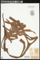 Platycerium coronarium image