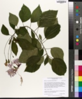 Hibiscus schizopetalus image