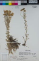 Hymenoxys subintegra image