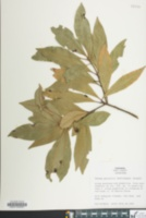 Image of Persea palustris