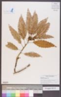Image of Quercus corrugata