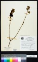Image of Ageratina petiolaris