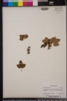 Image of Ribes magellanicum