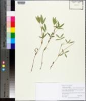 Arachis prostrata image
