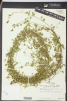 Aeschynomene viscidula image