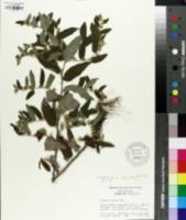 Image of Vernonia sericea
