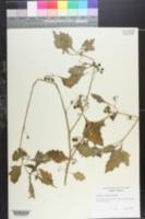 Image of Solanum atriplicifolium