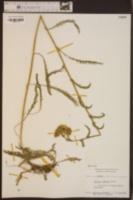 Achillea alpina image