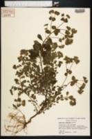 Euphorbia commutata image