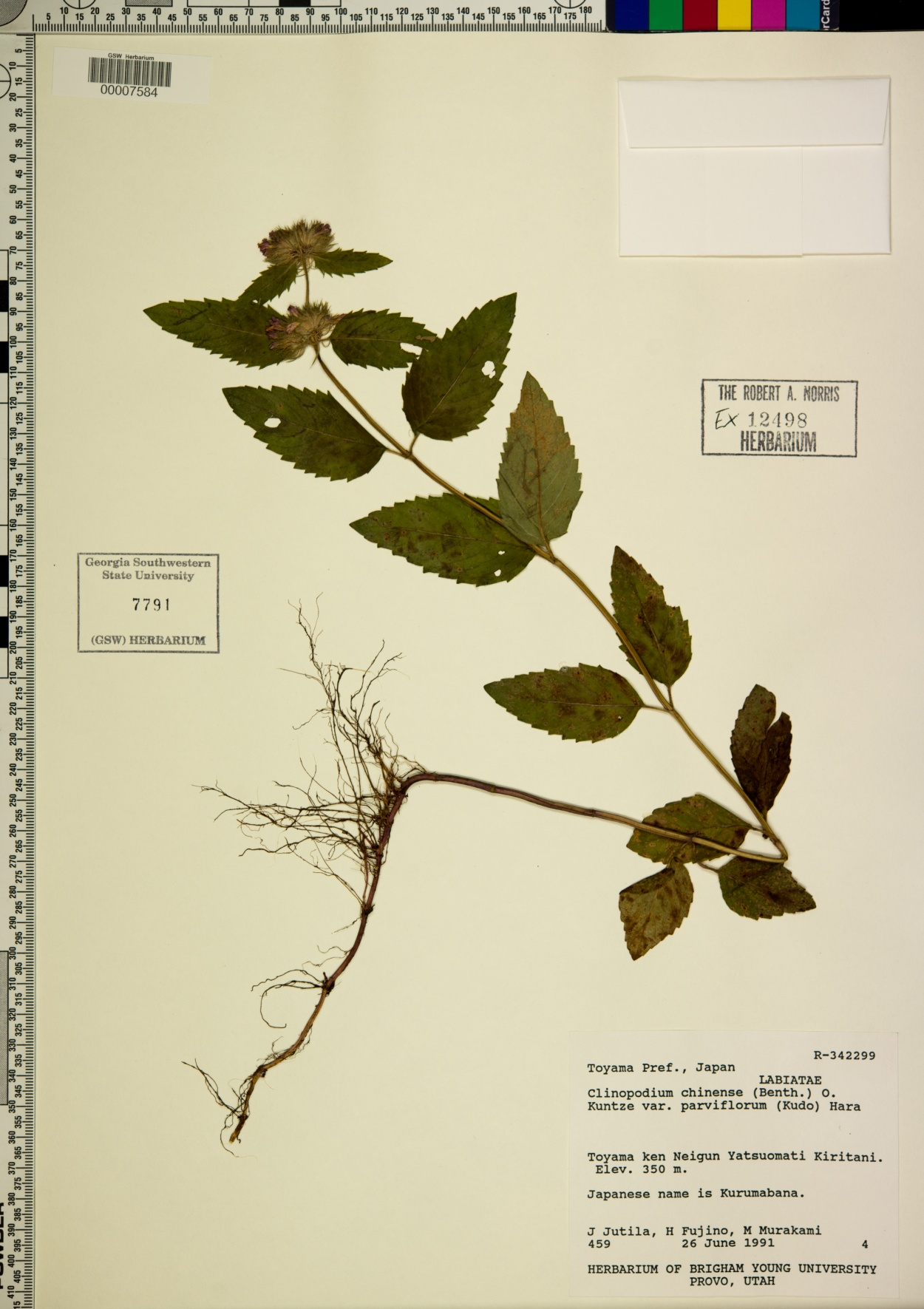 Clinopodium chinense image