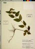 Image of Clinopodium chinense
