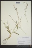 Streptanthus insignis image