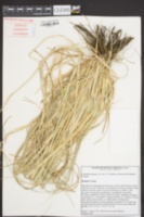 Cortaderia selloana image