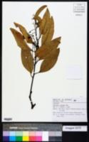 Image of Nectandra cuspidata