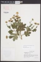 Chrysanthemum X morifolium image
