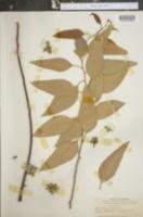 Image of Eucalyptus paniculata