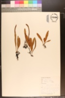 Image of Pyrrosia adnascens