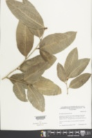 Brosimum alicastrum image