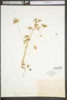 Geranium columbinum image