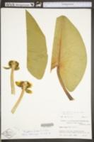 Nymphaea lutea image