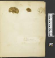 Polyporus virgineus image