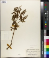 Image of Euphorbia paniculata