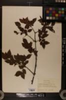 Image of Sageretia minutiflora