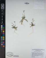 Gilia minor image