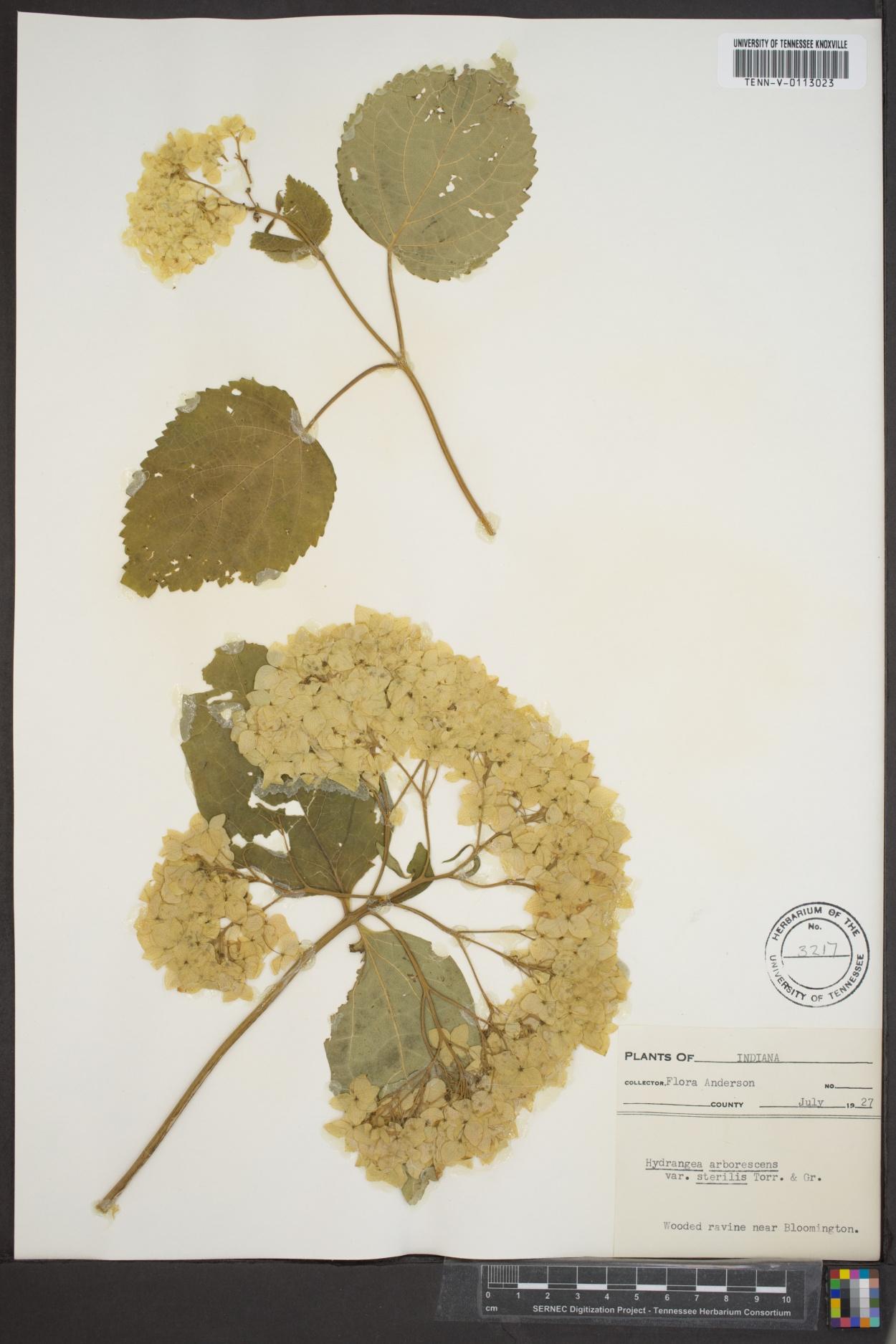 Hydrangea arborescens var. sterilis image