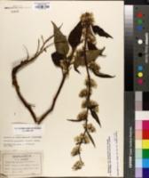 Nabalus roanensis image