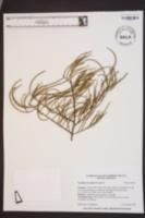 Taxodium ascendens image