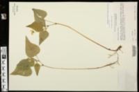 Viola tripartita image