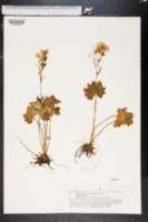 Image of Ranunculus cortusifolius