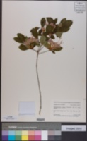 Rhododendron bakeri image