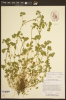 Image of Medicago arabica